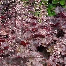 Heuchera - Purperklokje  Hoogte: 30 - 40 cm  Kleur: Wit  Wintergroen: Nee  Bloeiperiode: Mei - Juni