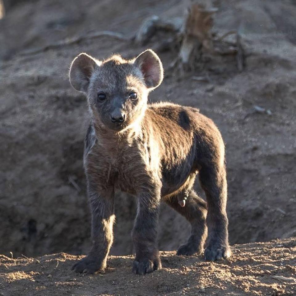 Hyena Cub.jpg