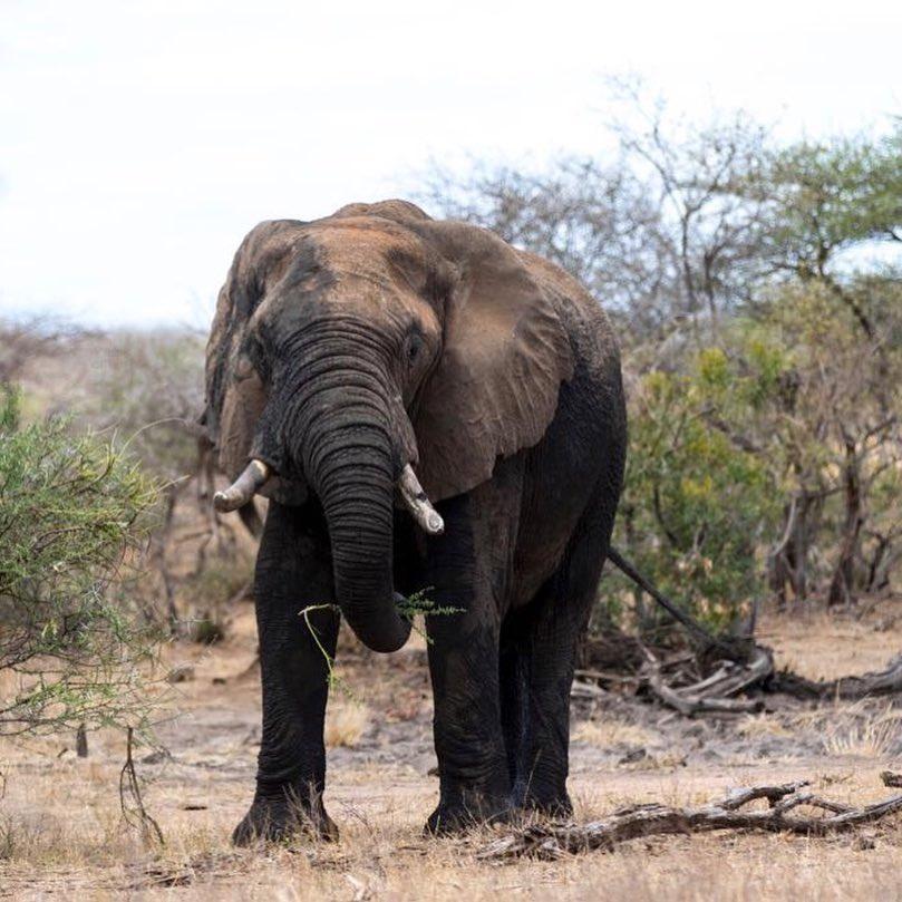 Kruger Park Elephant.jpg