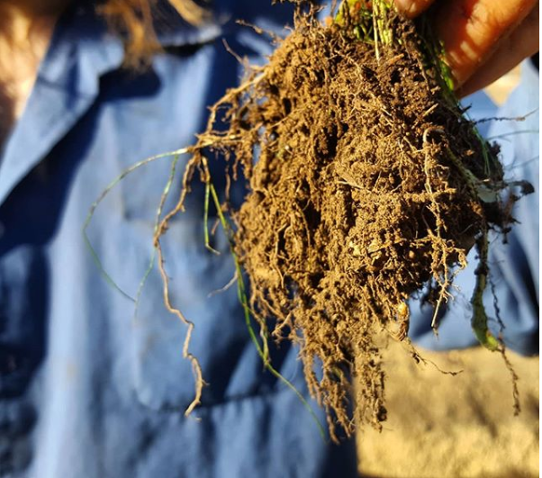 Cover Crop Roots.PNG