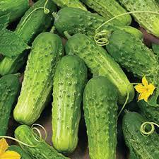CUCUMBER - Boston Pickling