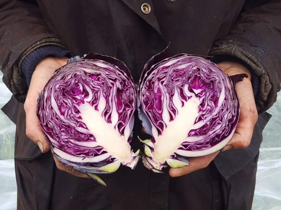 purple cabbage.png