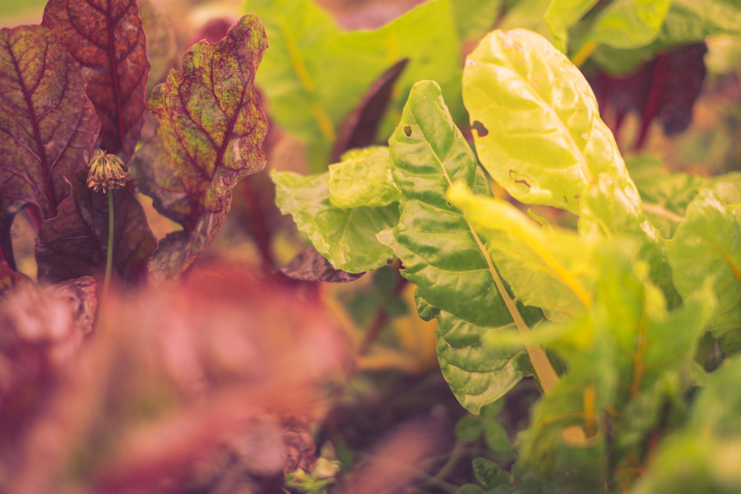 Garden-Saladish 1 Color-DSCF3035.jpg