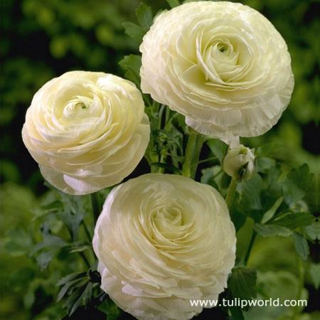rununculous white.jpg