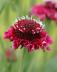 red scabiosa.jpeg
