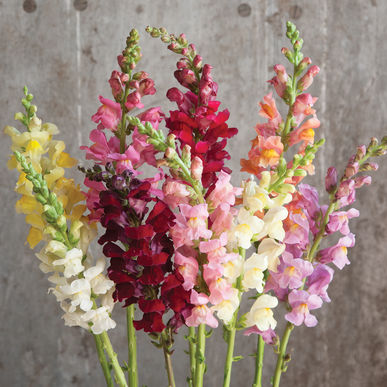 rocket mix snapdragon.jpg