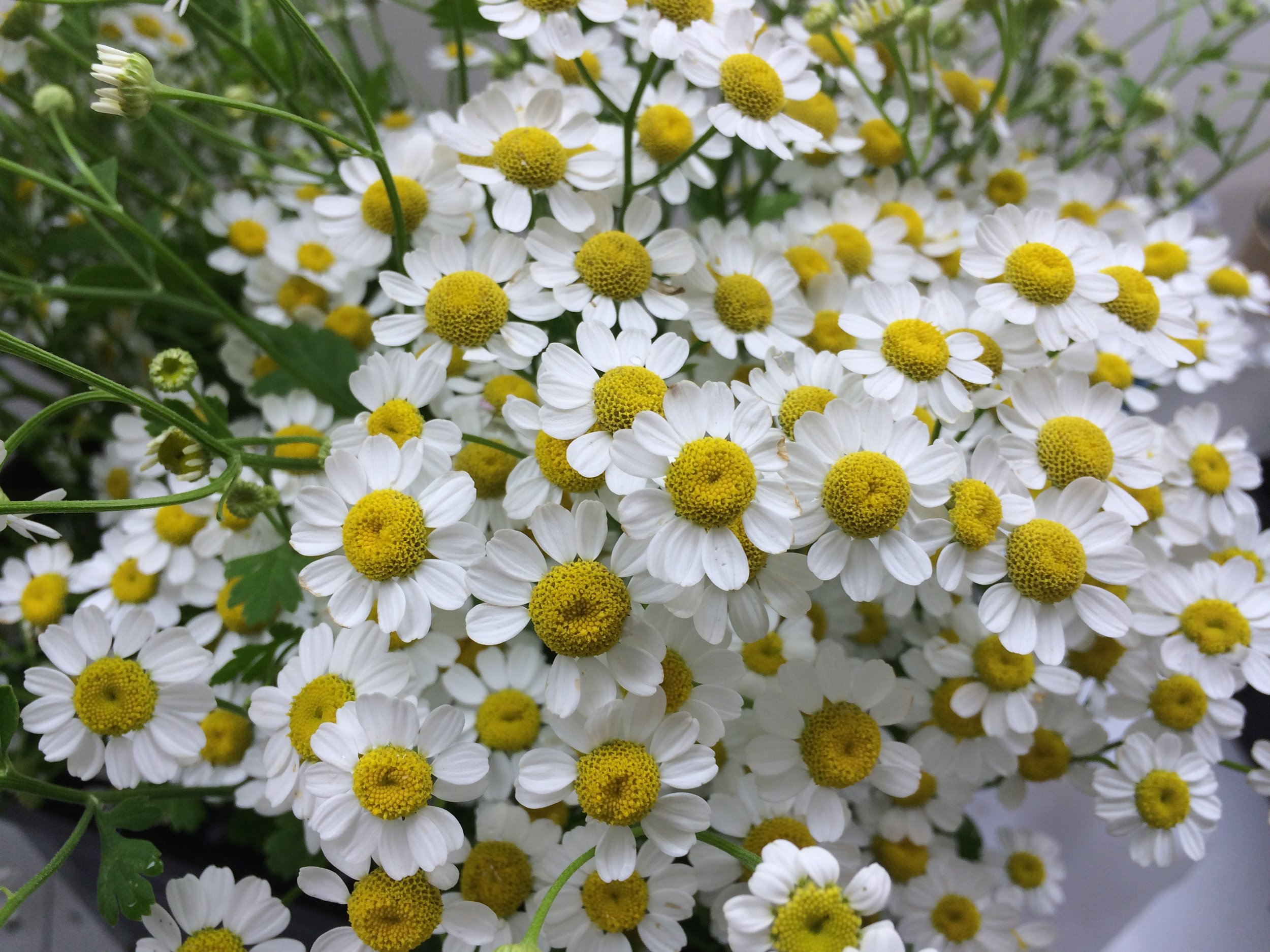 feverfew yellow center.JPG
