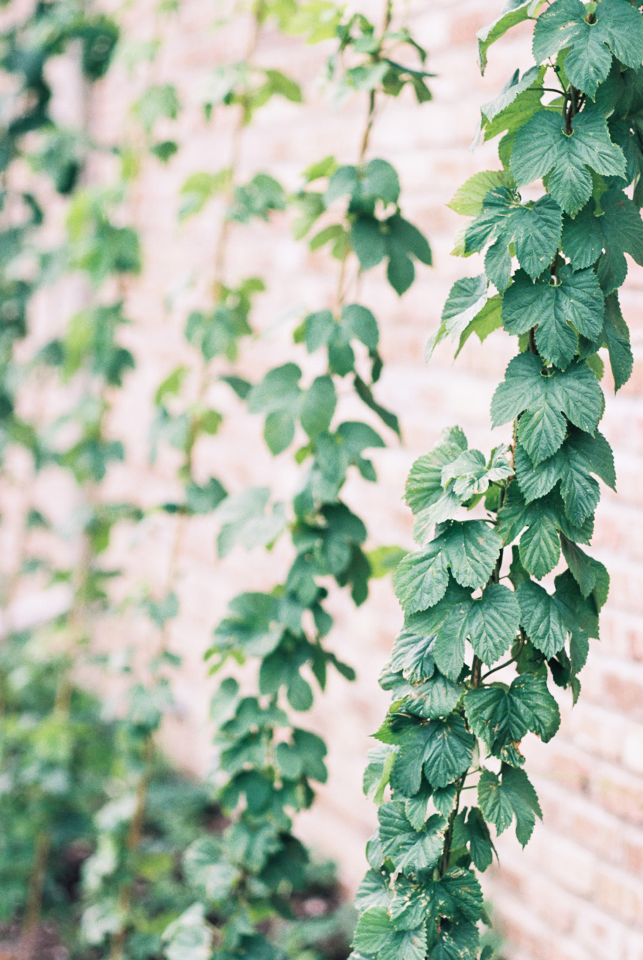 Hop vine growing on the side of Warehouse 109.