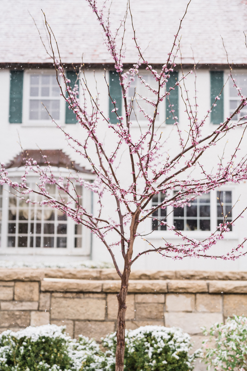 Flowering Red bud tree at the Danada House.