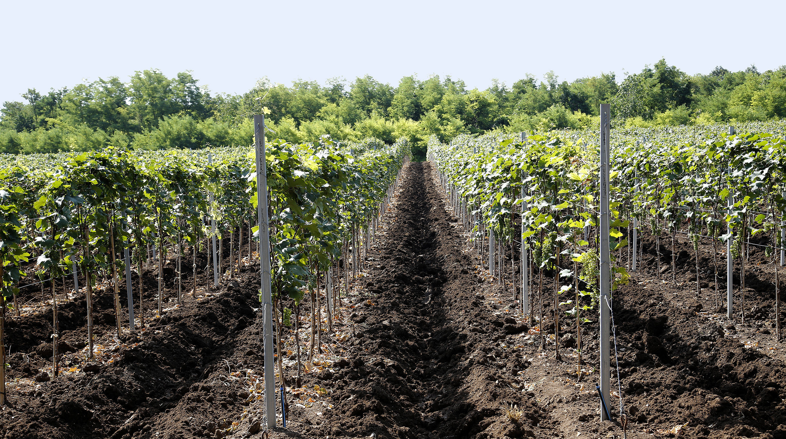 Rows of vines to make organic and natural red, white, amber and orange wines