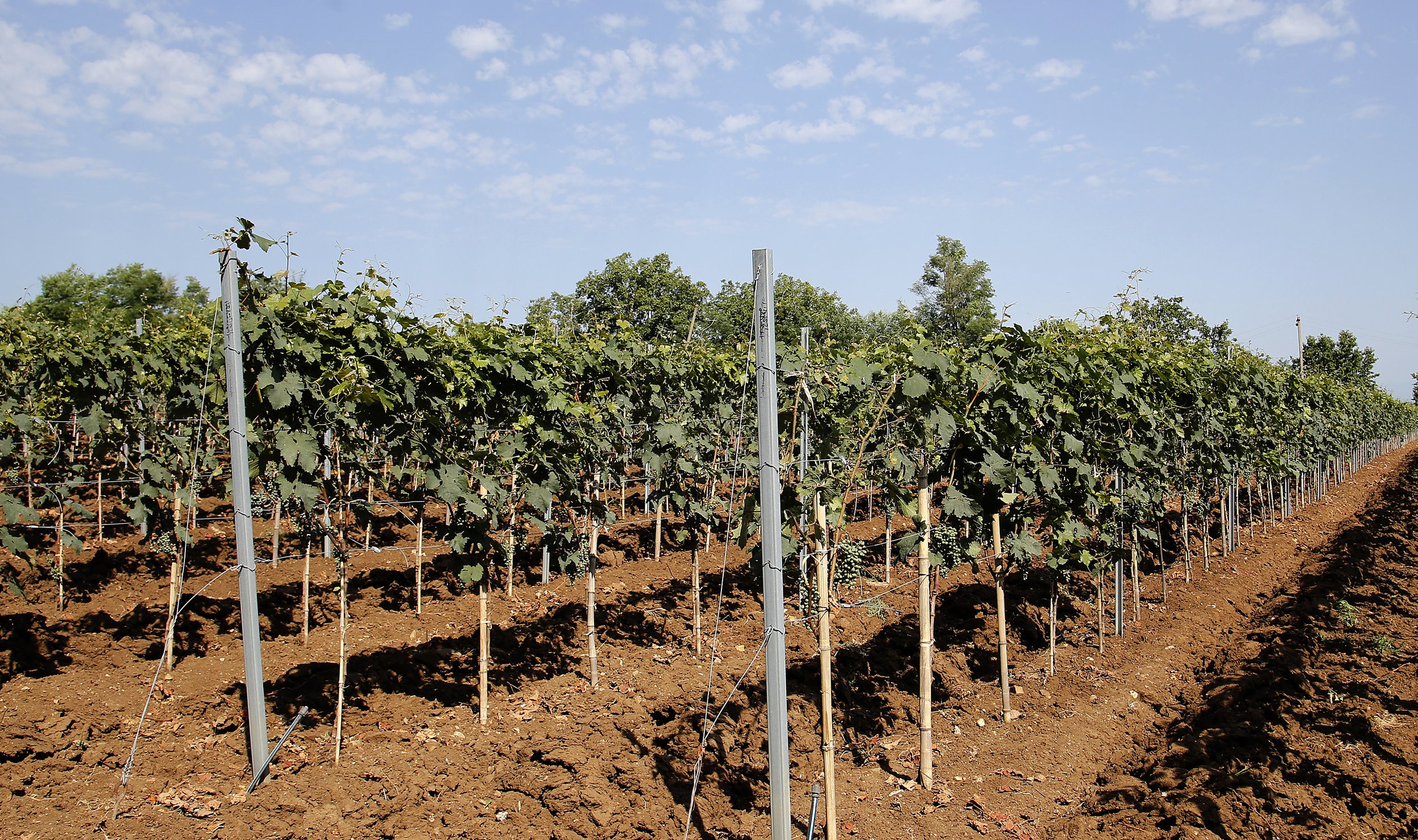 The vines are indigenous to Georgia producing some of the highest quality wine that is exported out of Georgia