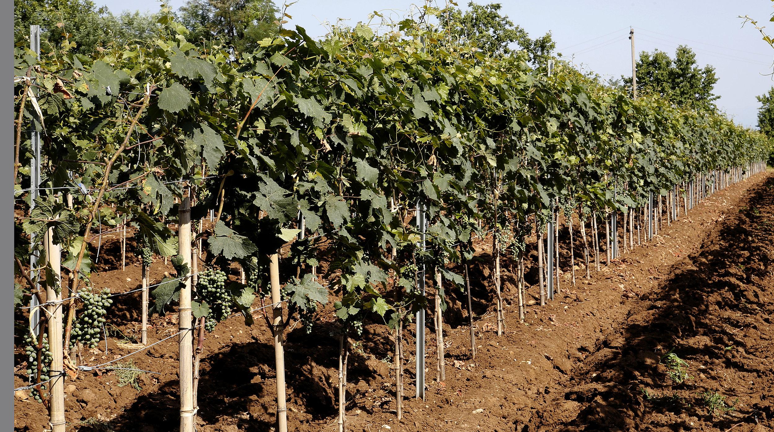 Grapes such as Saperavi, Mtsvane and Khikhvi are grown on the vineyard in Kakheti Georgia