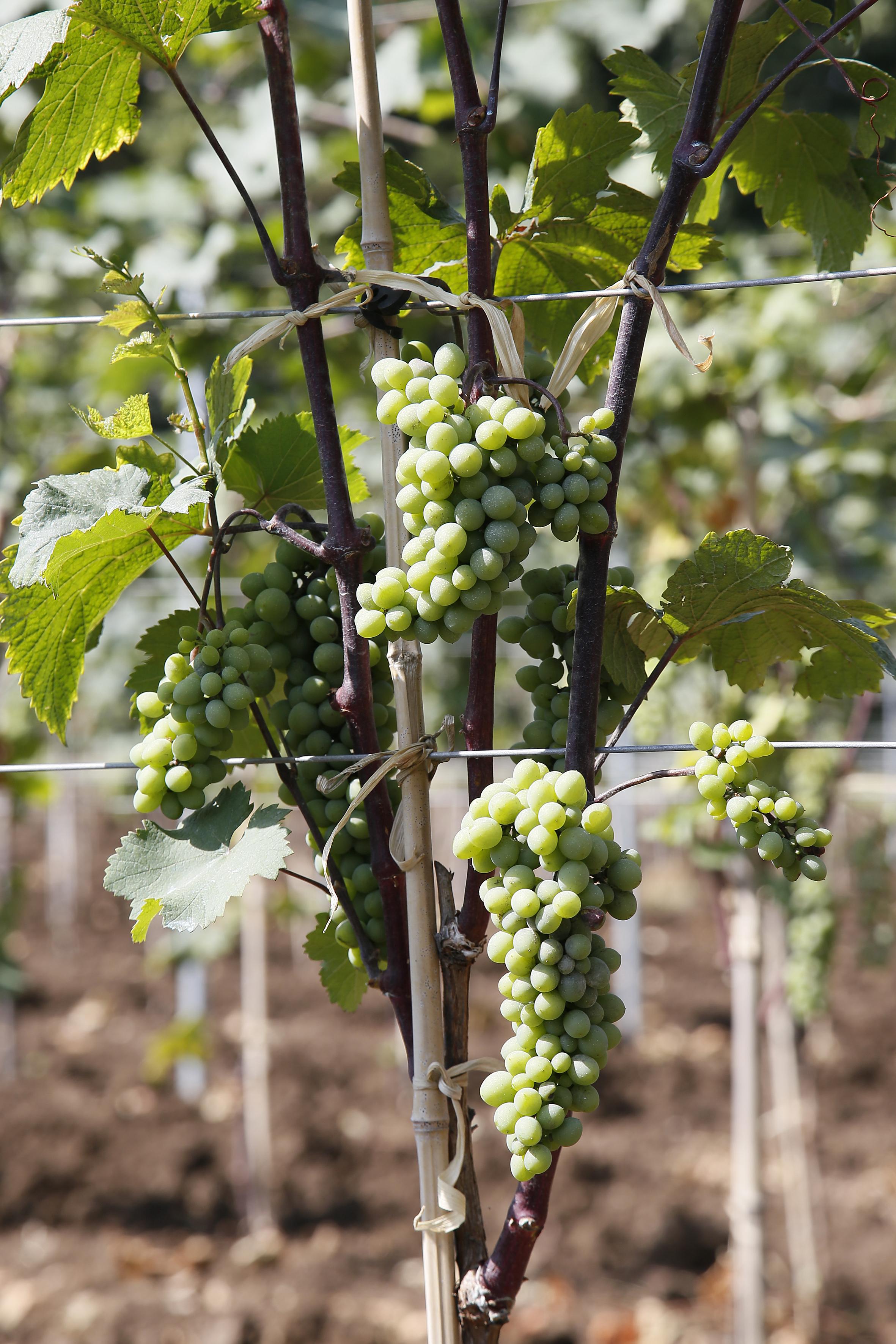 Close up of a Georgian grape variety Mtsvane. Used for amber or orange wine.