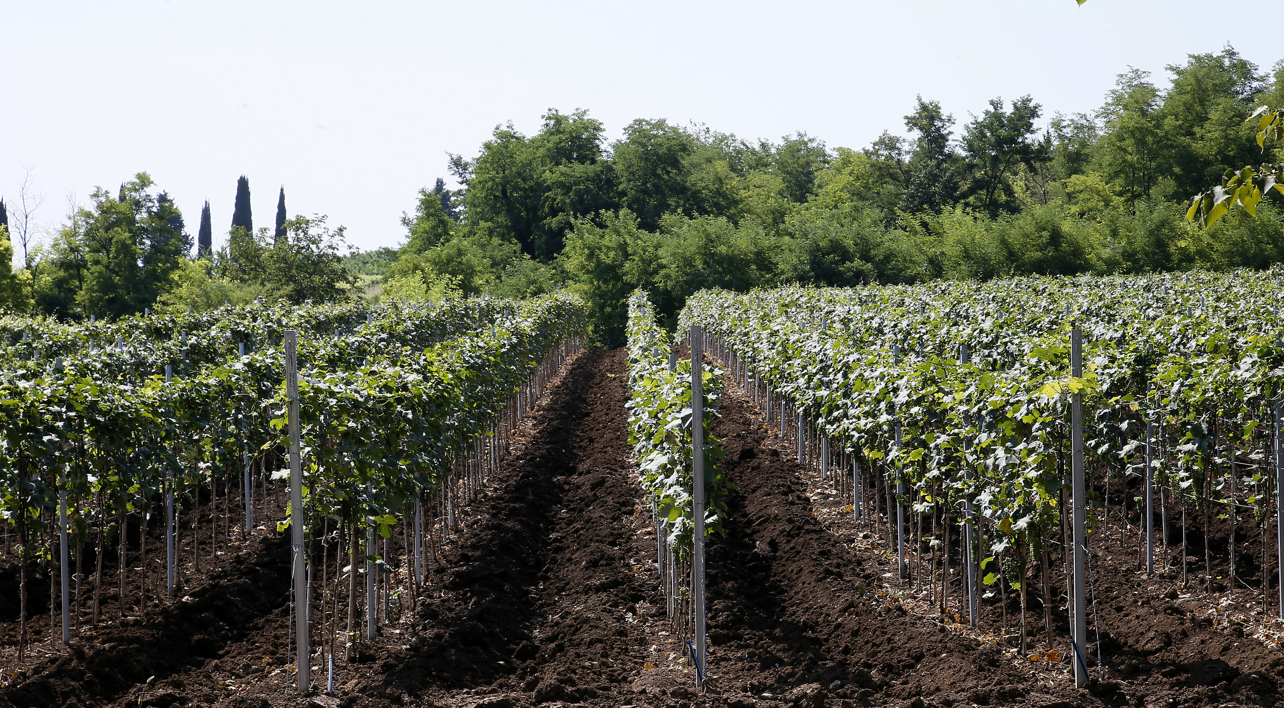 Many grape vines producing grapes such as Khikhvi, Mtsvane and Saperavi