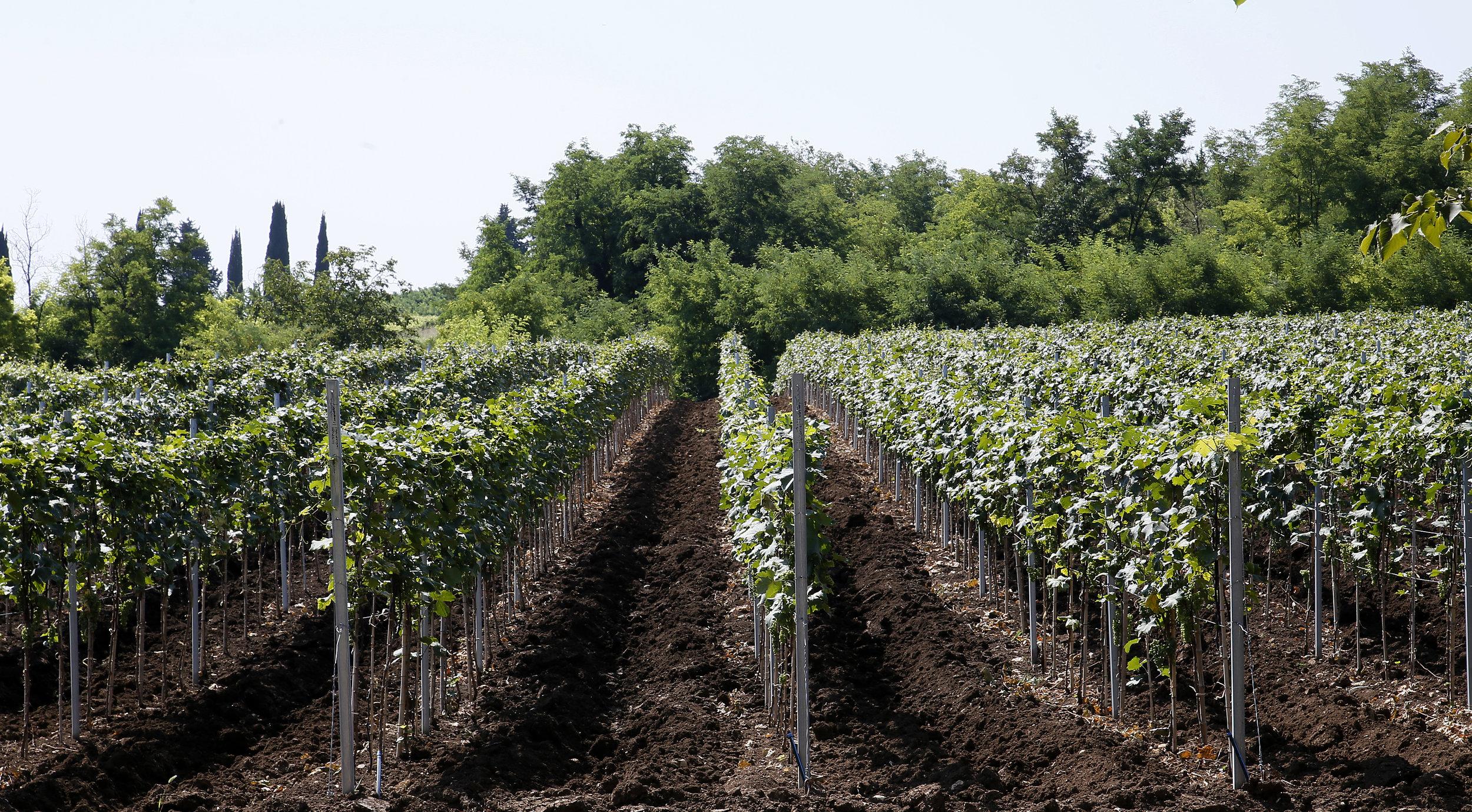 Saperavi grape, seen here, can be used to make Kindzmarauli wine that is semi sweet or off dry