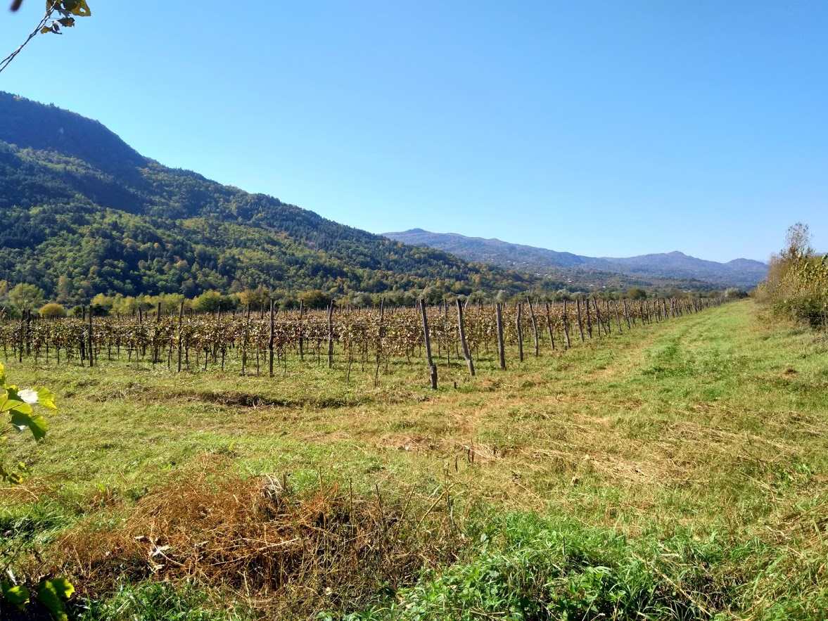 The vines have been here for many decades and are well looked after by Royal Khvanchkara