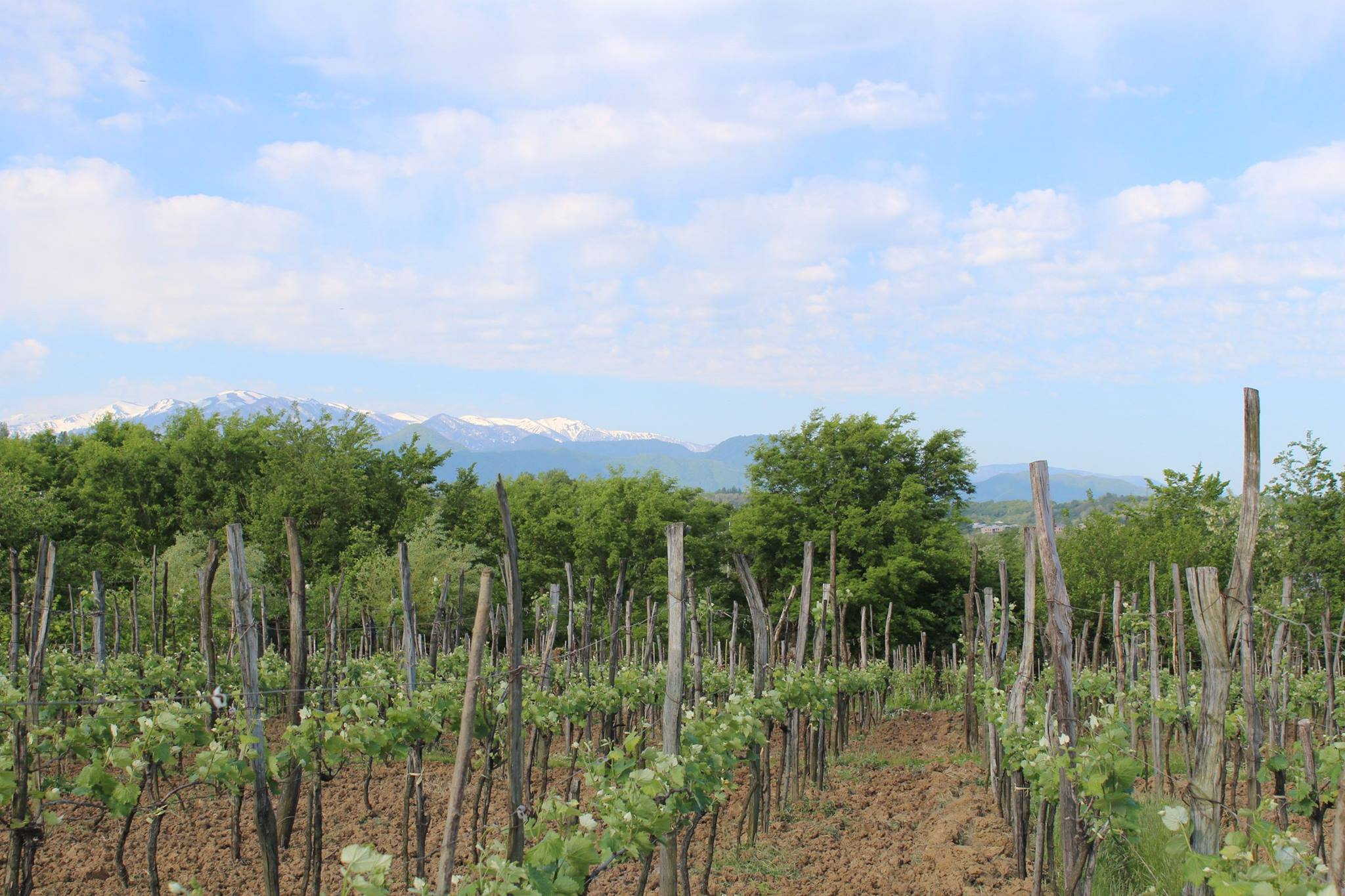 A number of organically grown vines producing high quality Georgian wine
