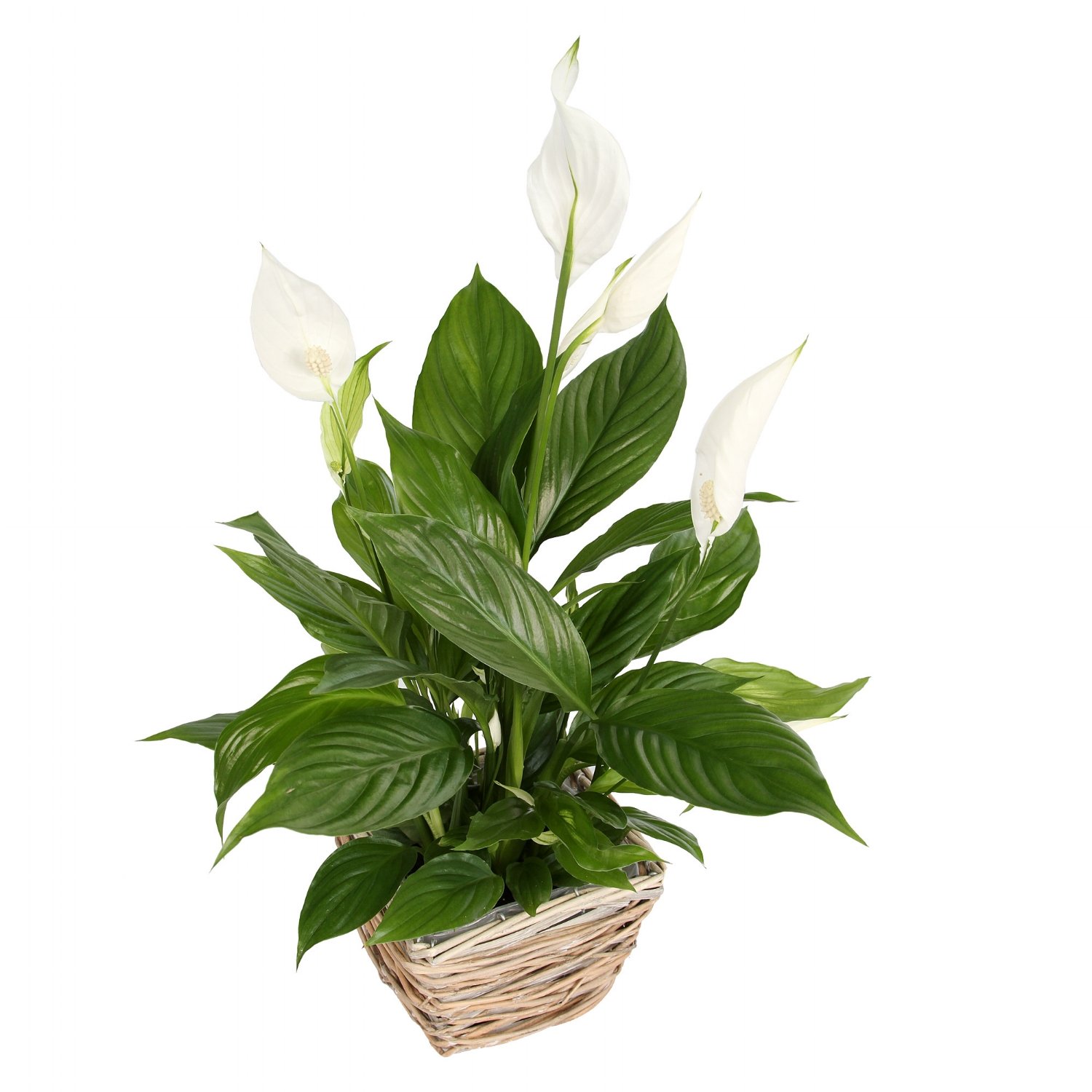 6. Peace lily - Bright light but no direct sun - tolerates low light but may not flowerWater at least once a week and keep soil evenly moist - make sure pot has drainage holes to prevent root rotDroops dramatically when needs water, may even look dead, but springs back to life after a good soakingProduces lovely white blooms(toxic to dogs & cats)