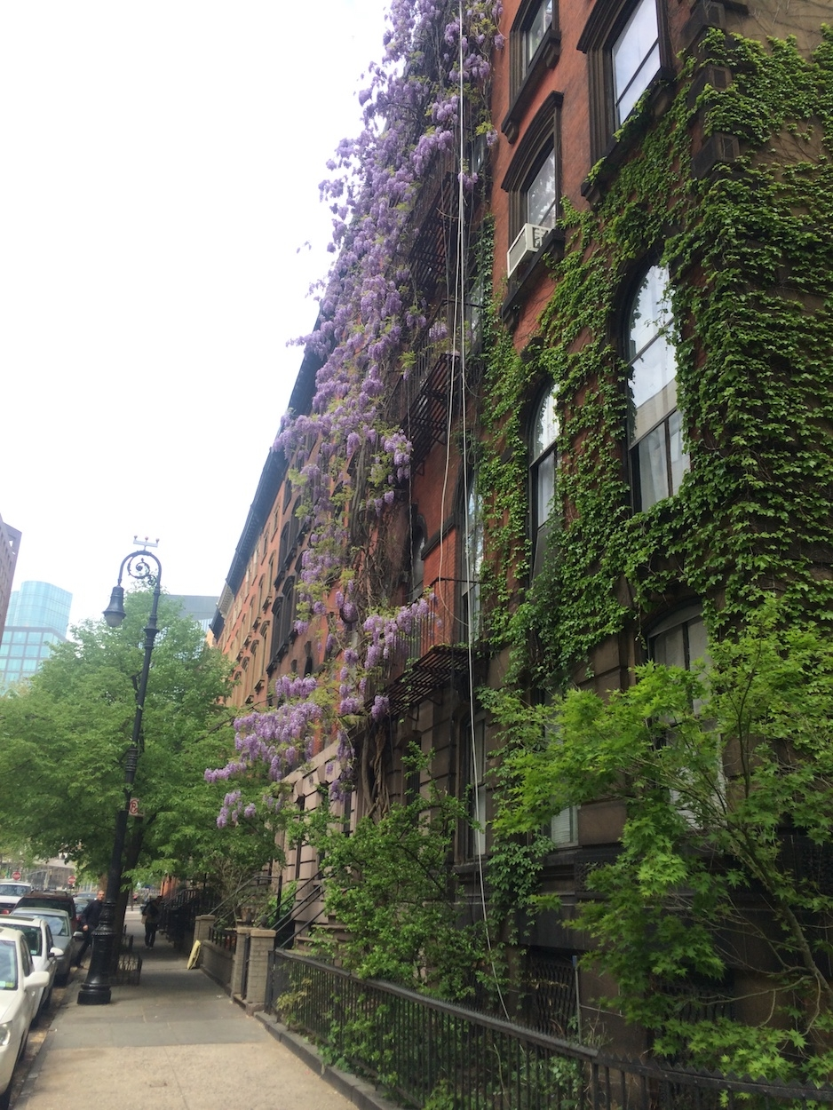 Wisteria climbs building - resized reduced.JPG