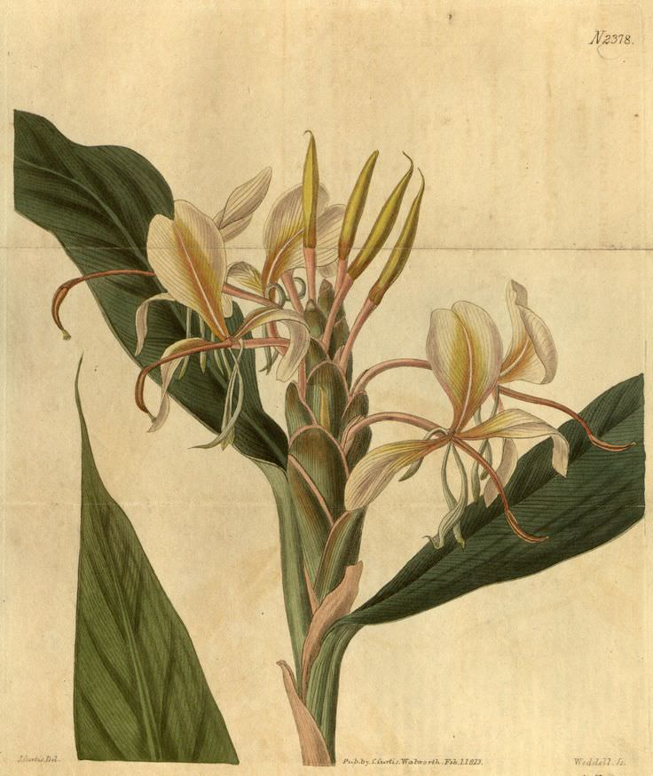 Hedychium National Flower of Cuba