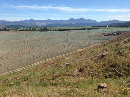 Steger vineyard after being planted