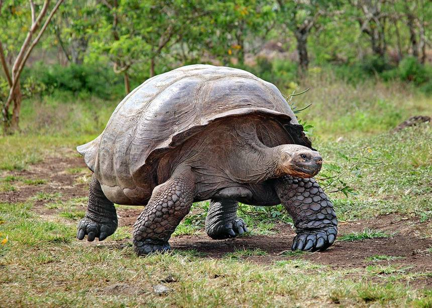 giant-tortoise-galapagos-001.jpg.860x0_q70_crop-scale.jpg