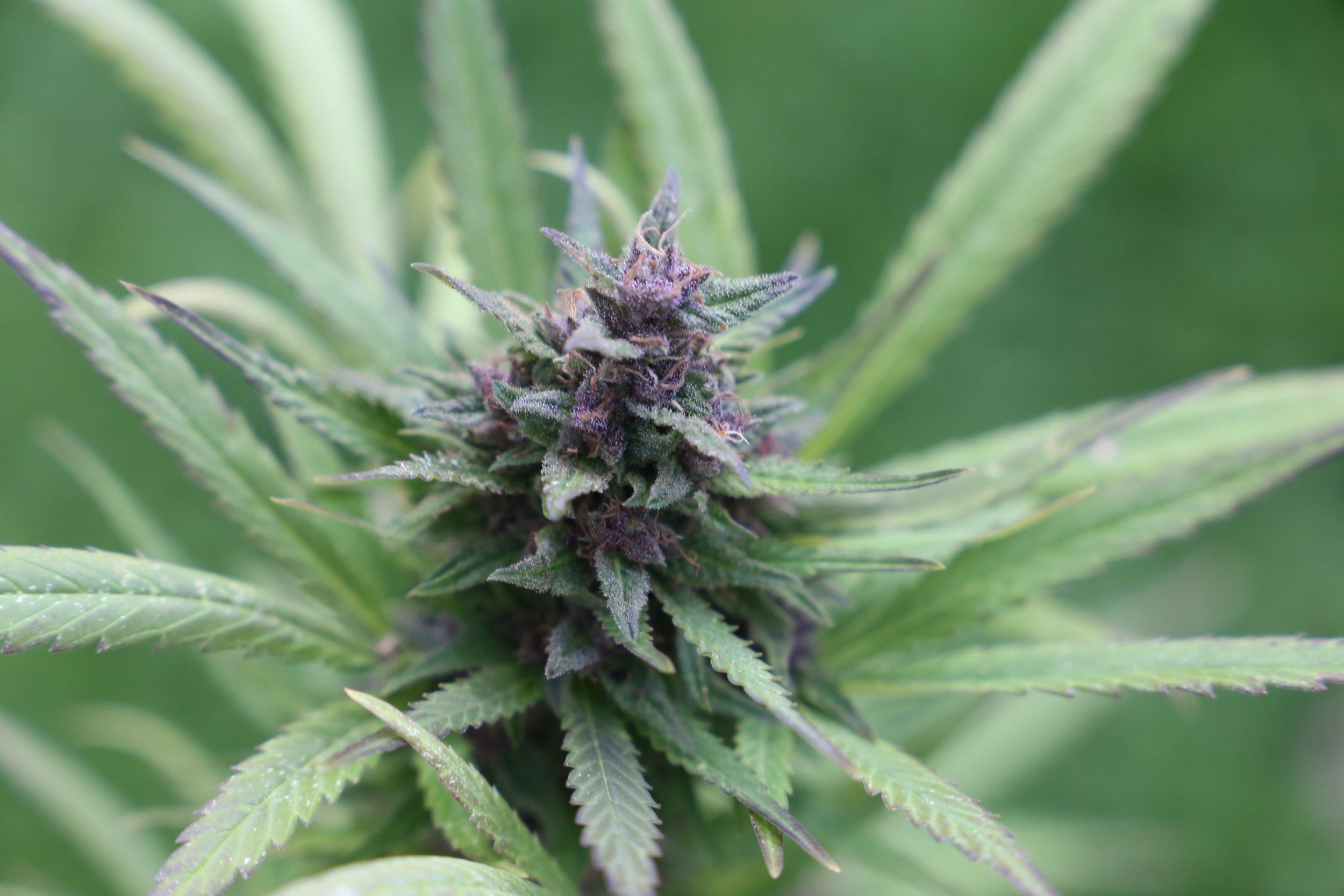 cannabis-3871901.jpg