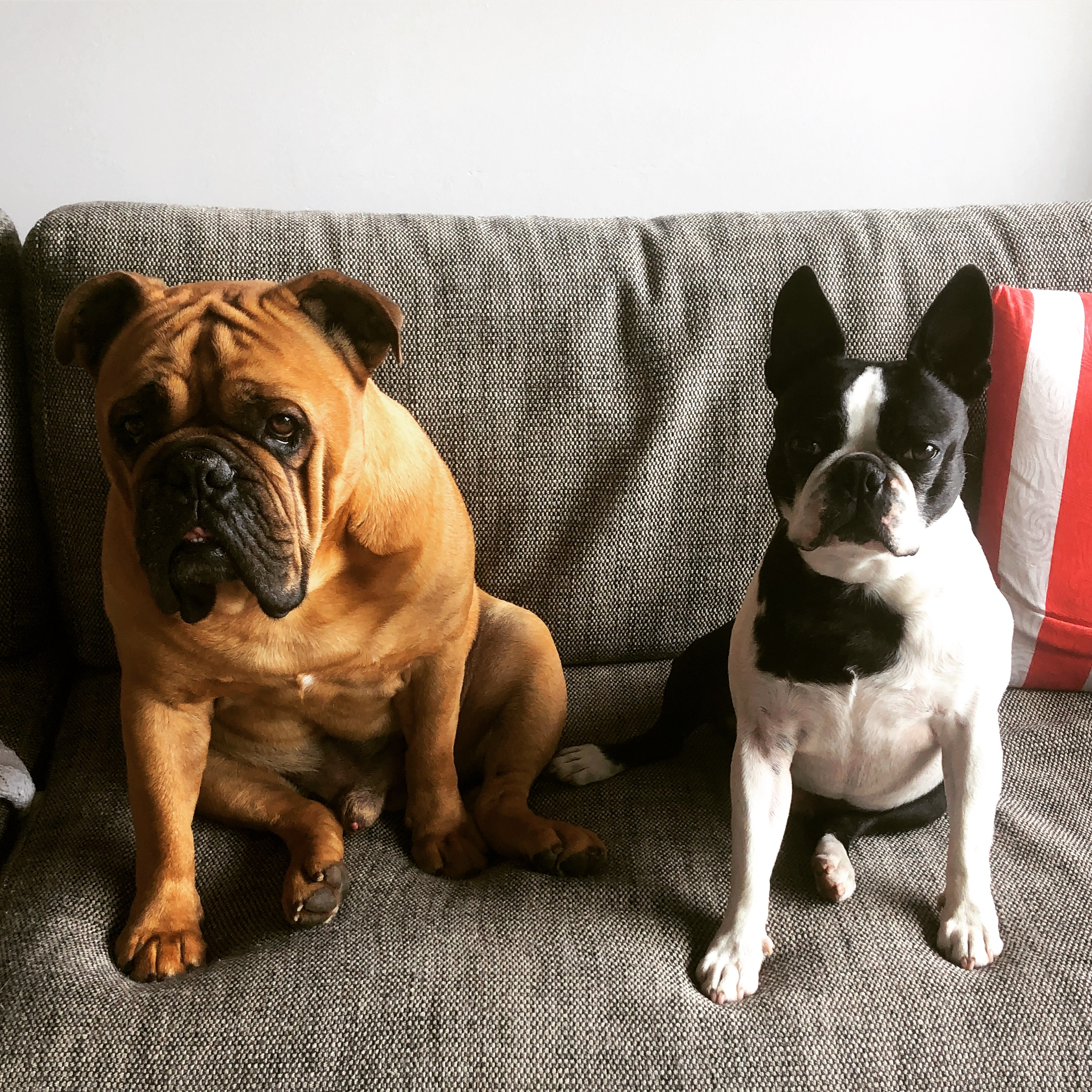 Sitting for Winston and Cooper at North Turramurra, Sydney, Australia from October 2018 for 2 weeks -