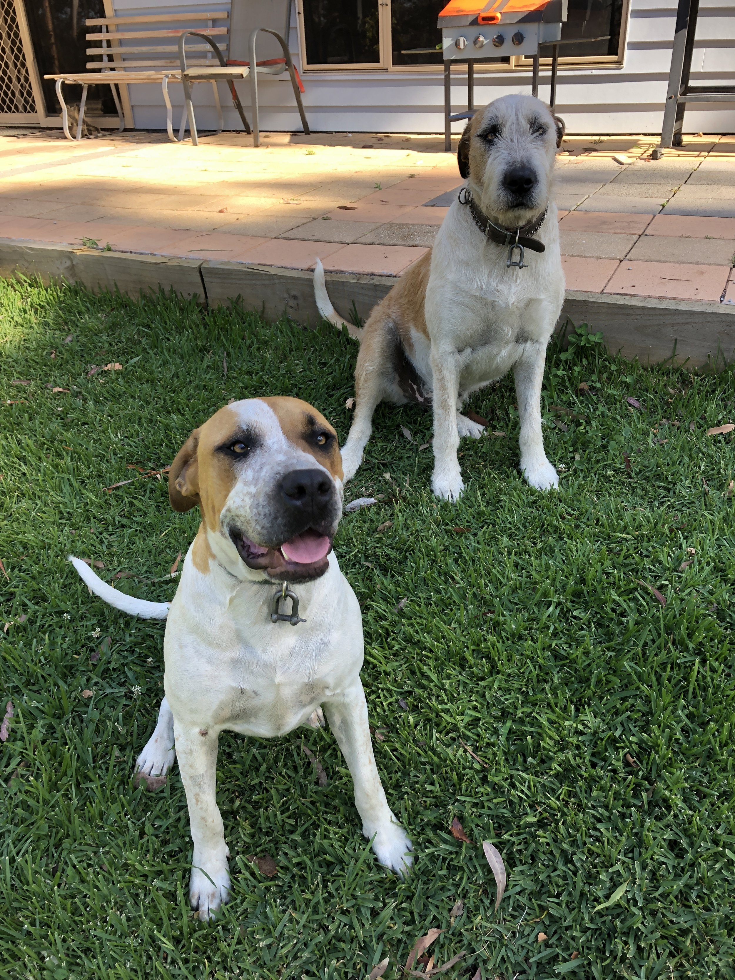 Sitting for Petey, and Spot the dogs, Tom Tom the cat and 10 chickens at Ourimbah, NSW, Australia, November 2018 for 4 days -