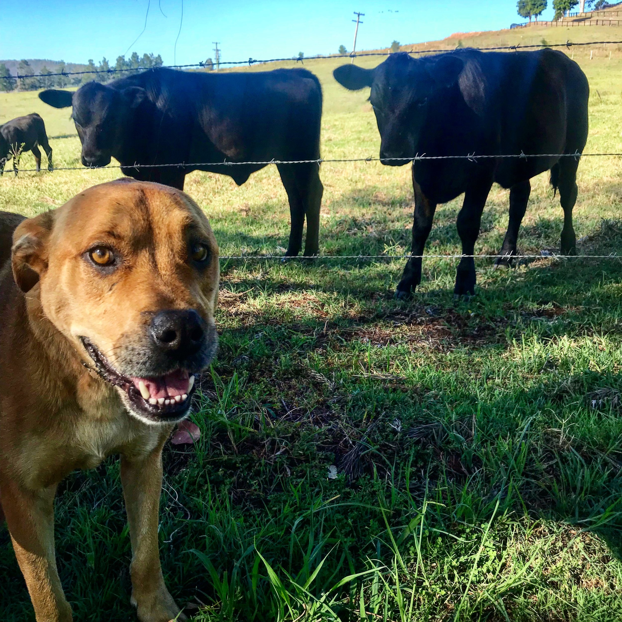 Sitting for T Bone the dog, 28 horses and 12 cattle on a 60 acre farm in the Hunter Valley, Australia in December 2018 for 2 weeks -