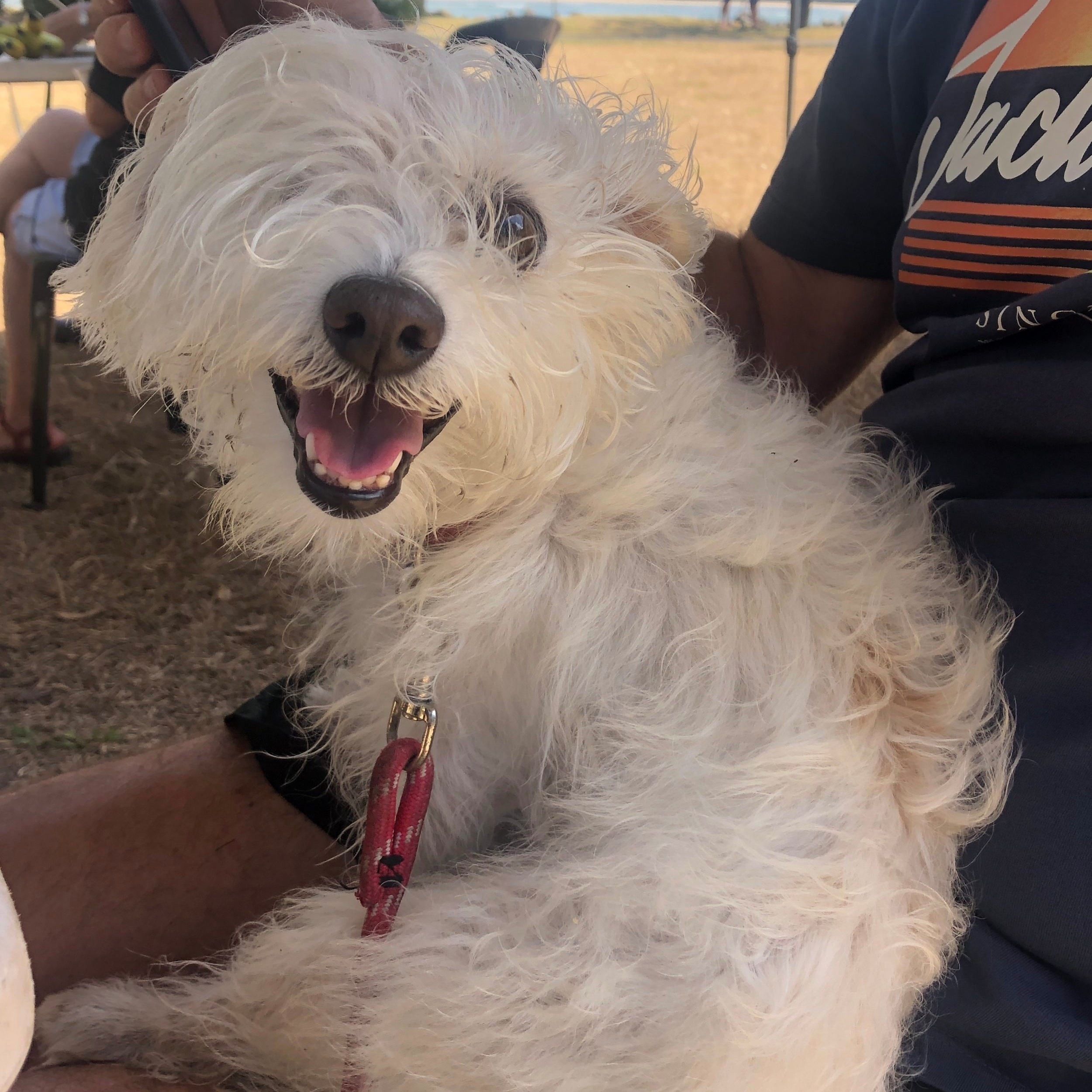 Sitting for Romeo in Ballina, NSW, Australia from December 2018 for 4 weeks -