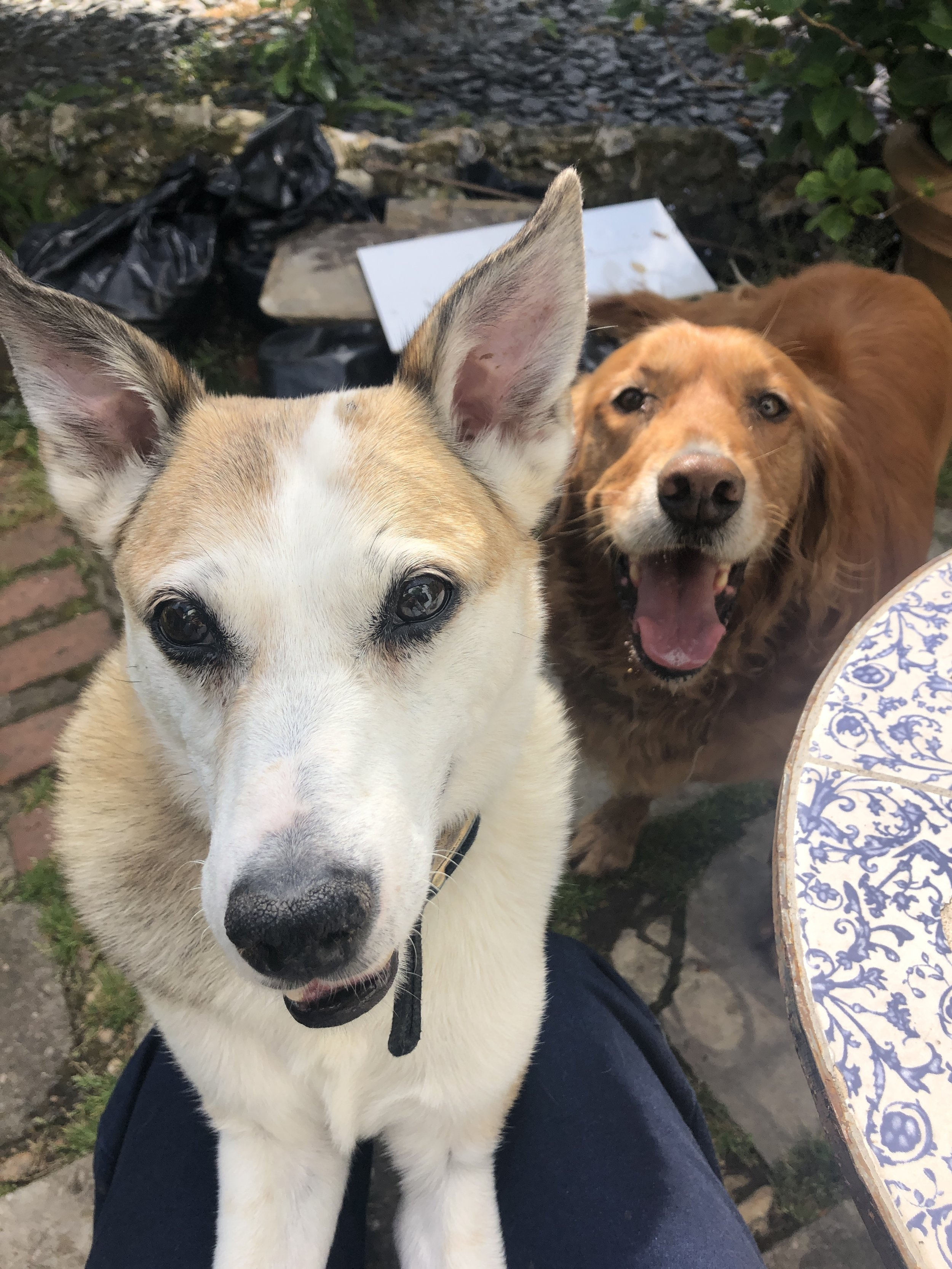 Sitting for Buddy and Billy in Banstead, Surrey, England from June 2019 for 2 weeks -