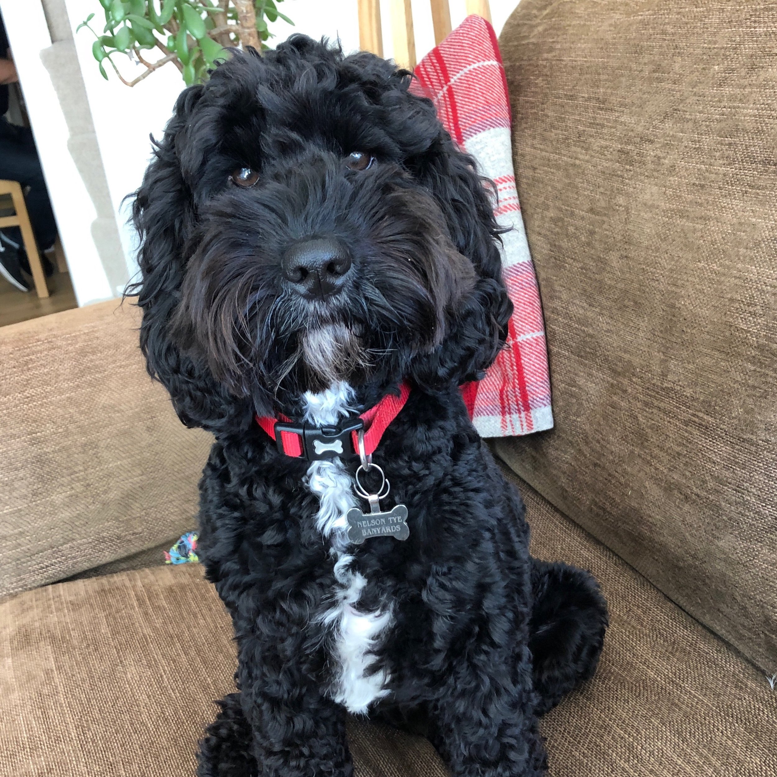 Sitting for Nelson the Cockapoo in Cambridge, England from June 2019 for 10 days -