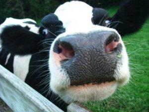 cow-2-300x226.jpeg