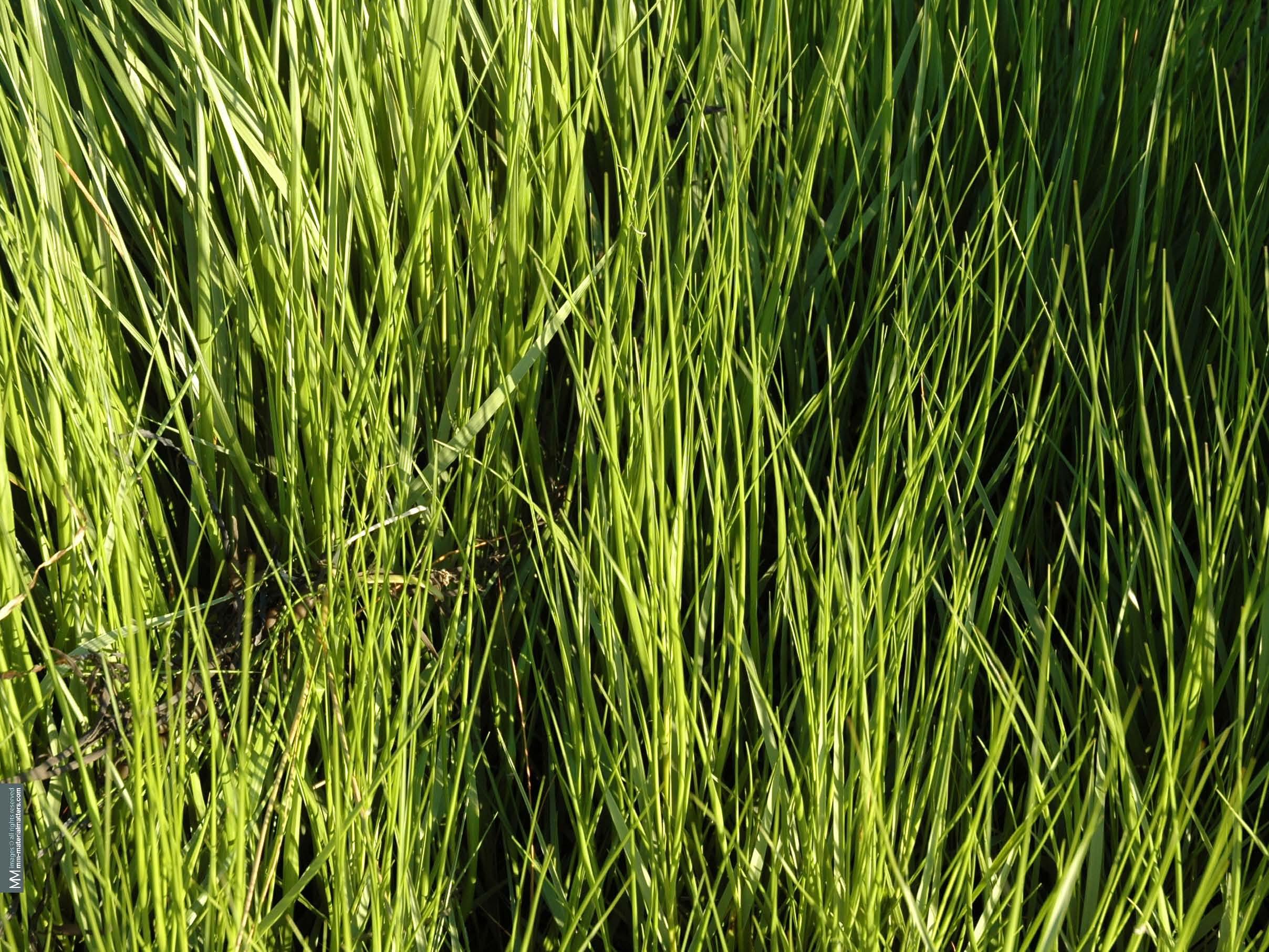 Spartina-Grass.jpg
