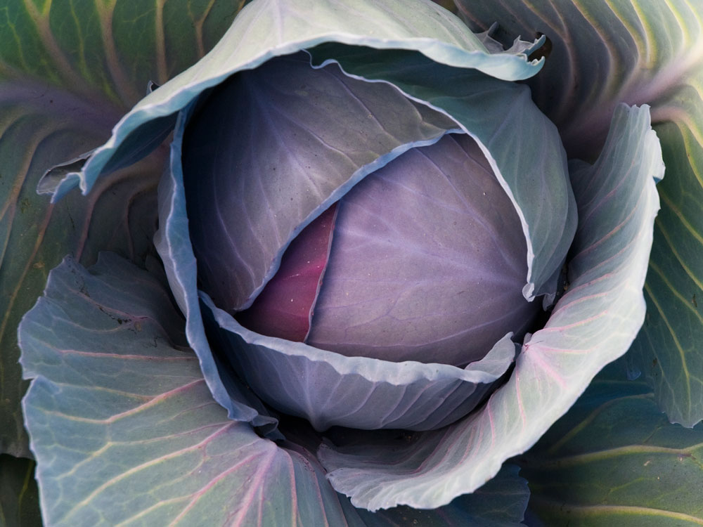 cabbage-bbb.jpg