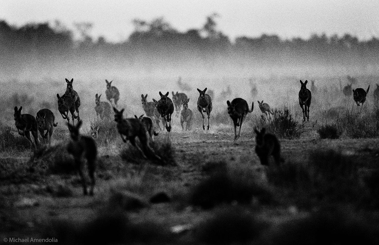 Kangaroos in Drought 2000.