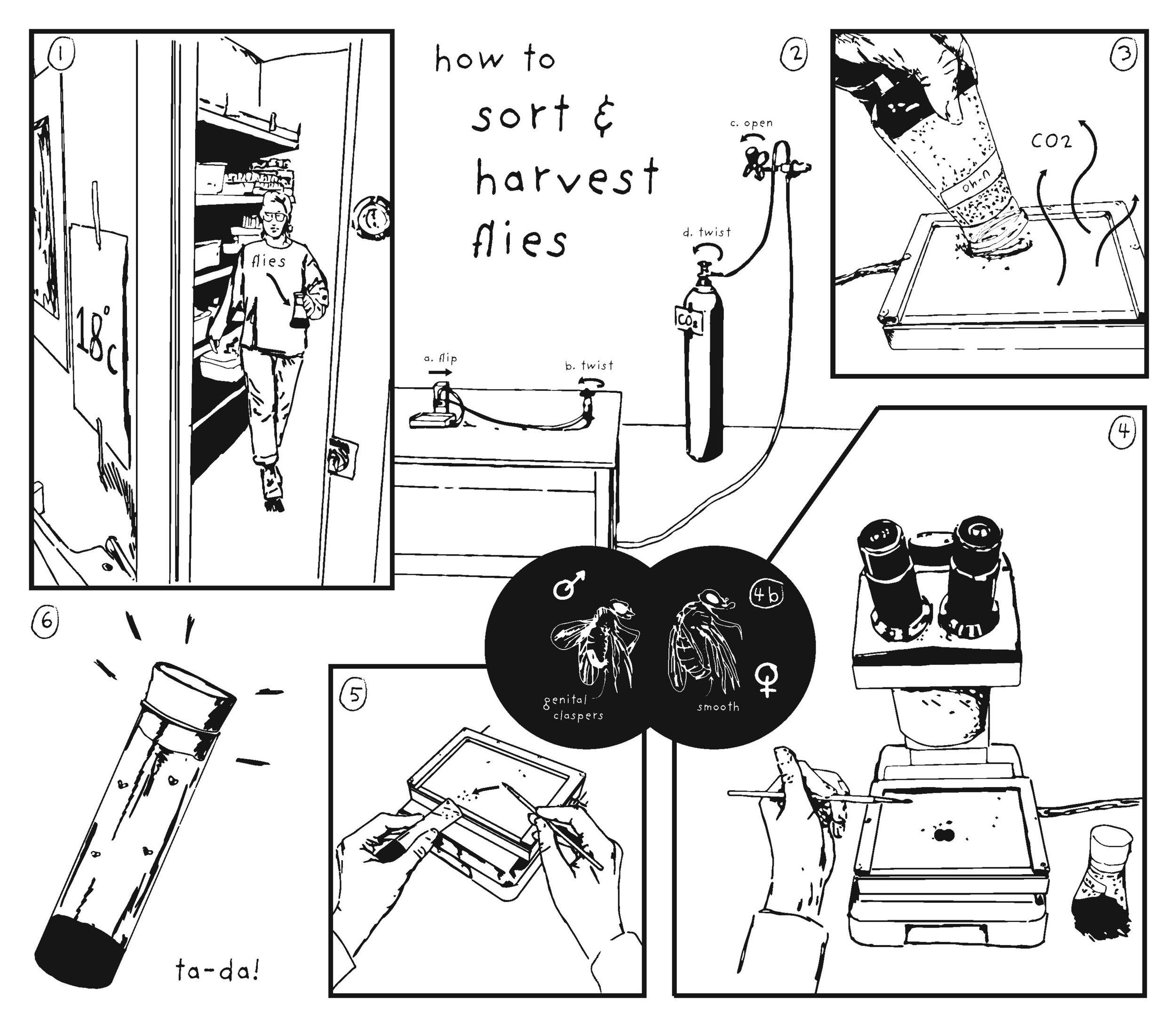 how to sort & harvest flies, 2019  digital media