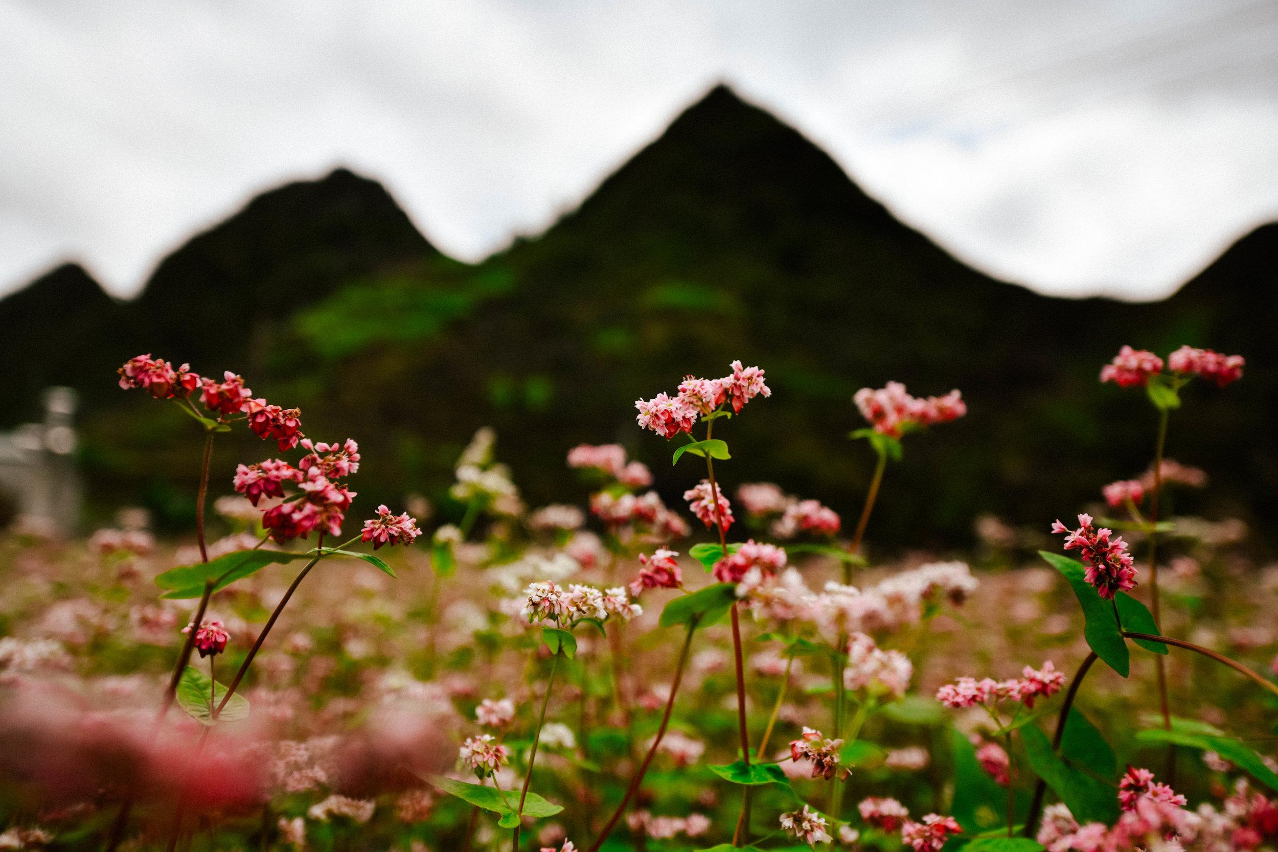 pink buckwheat flowers in Ha Giang