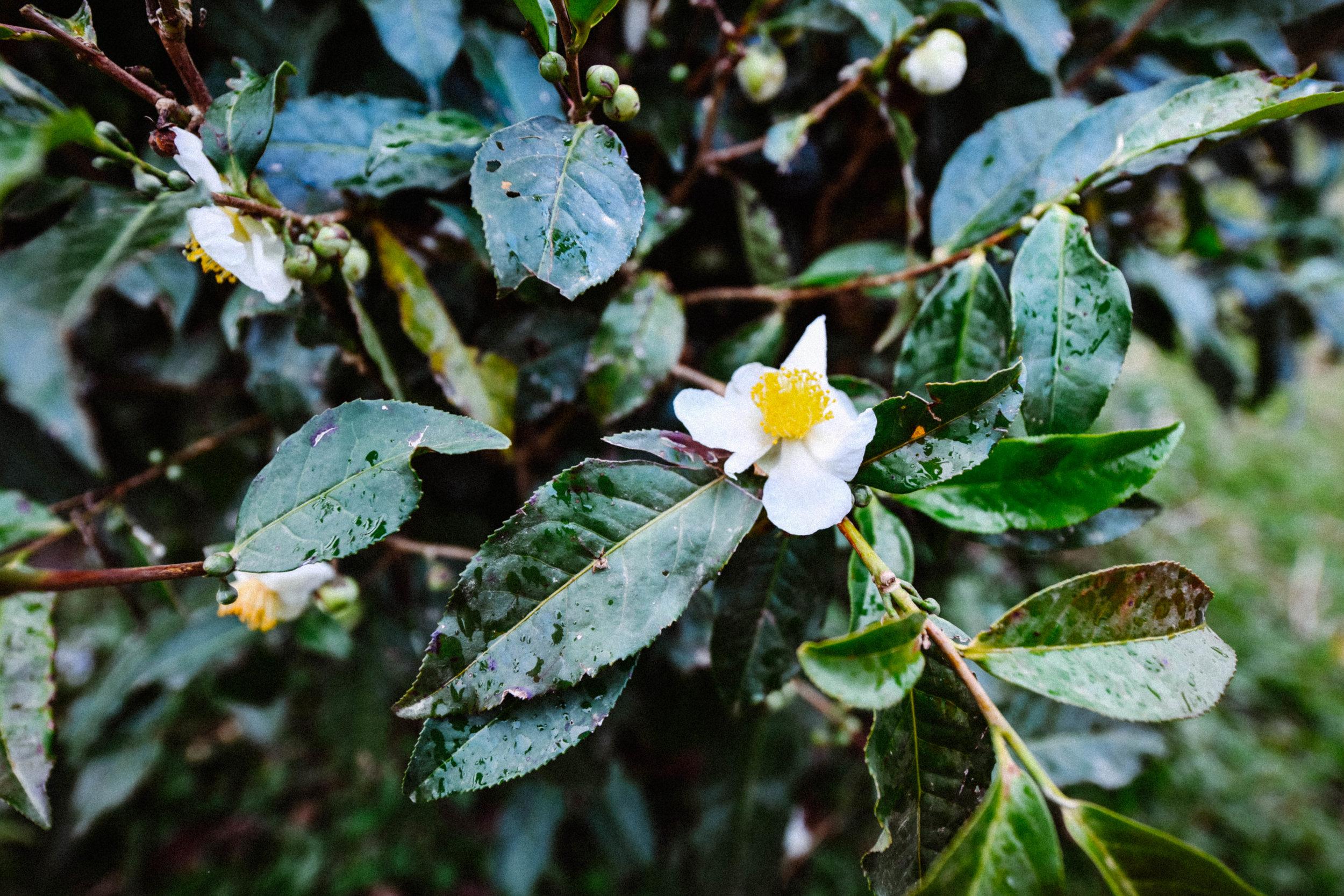 green-tea-blossom.jpg