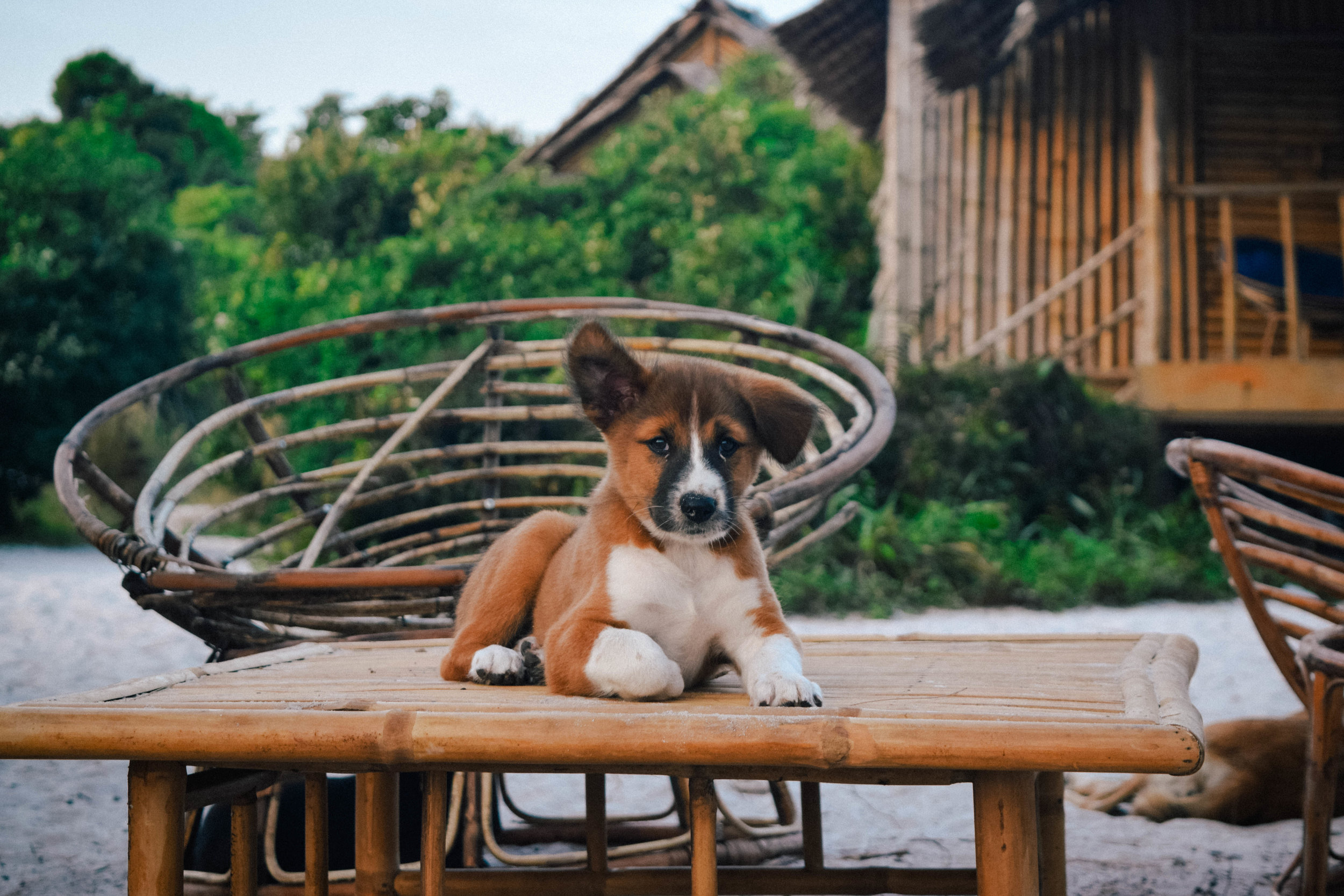 Puppy on the beach in Cambodia