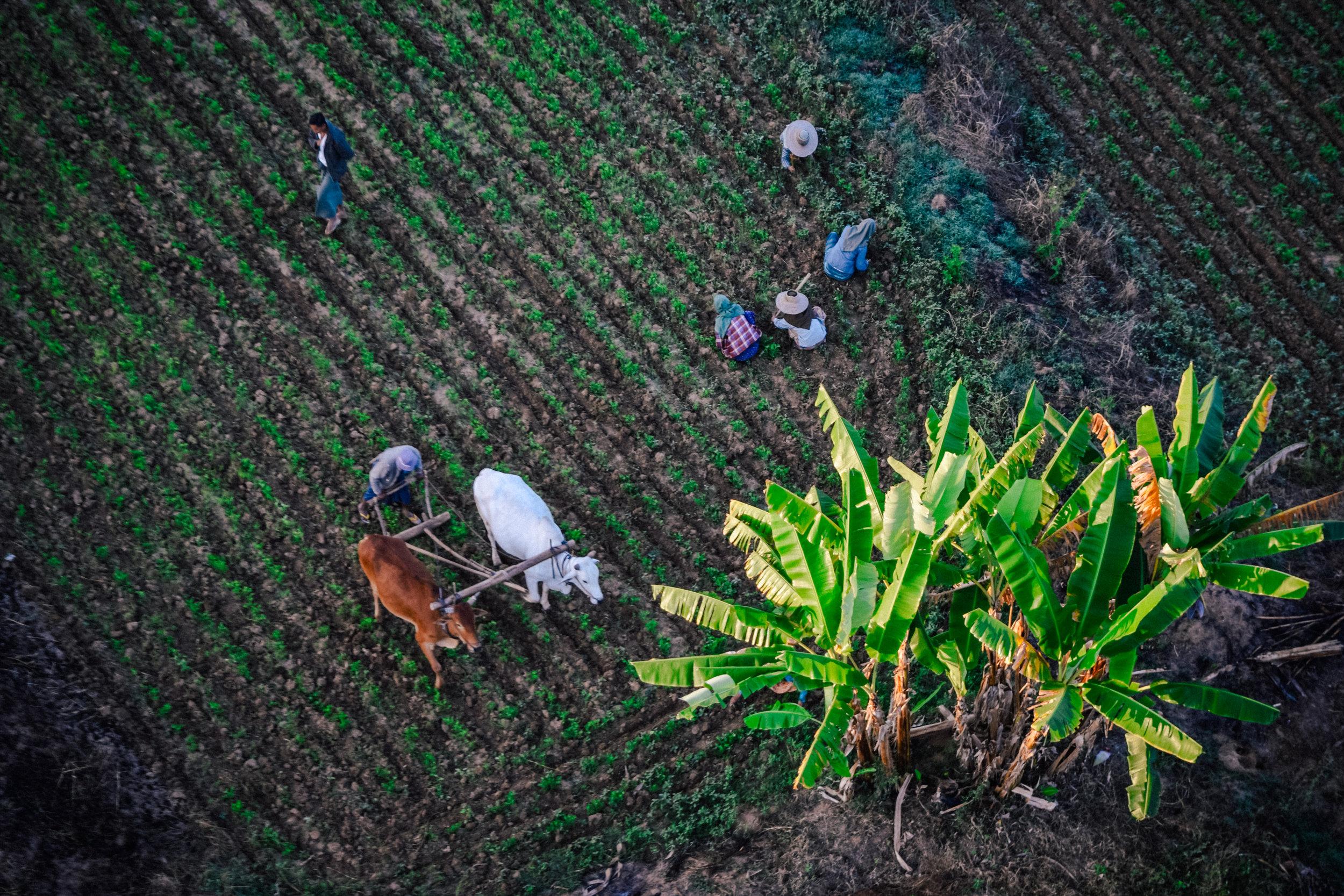 Farmers in Bagan