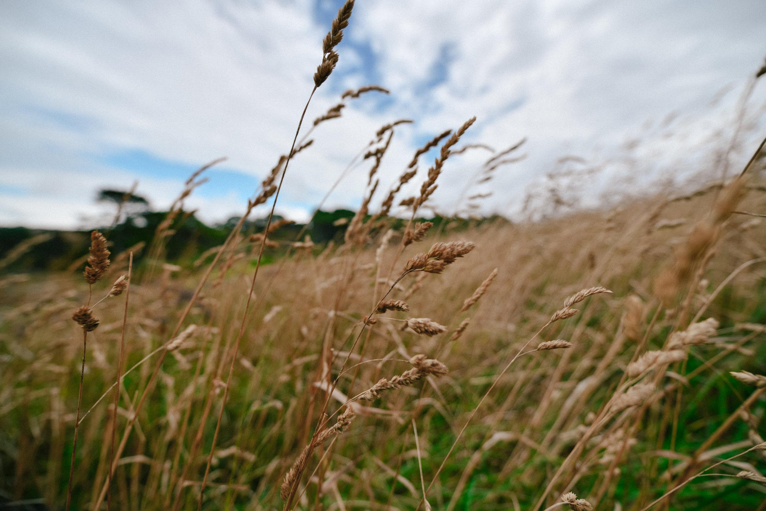 wheat in coromandel