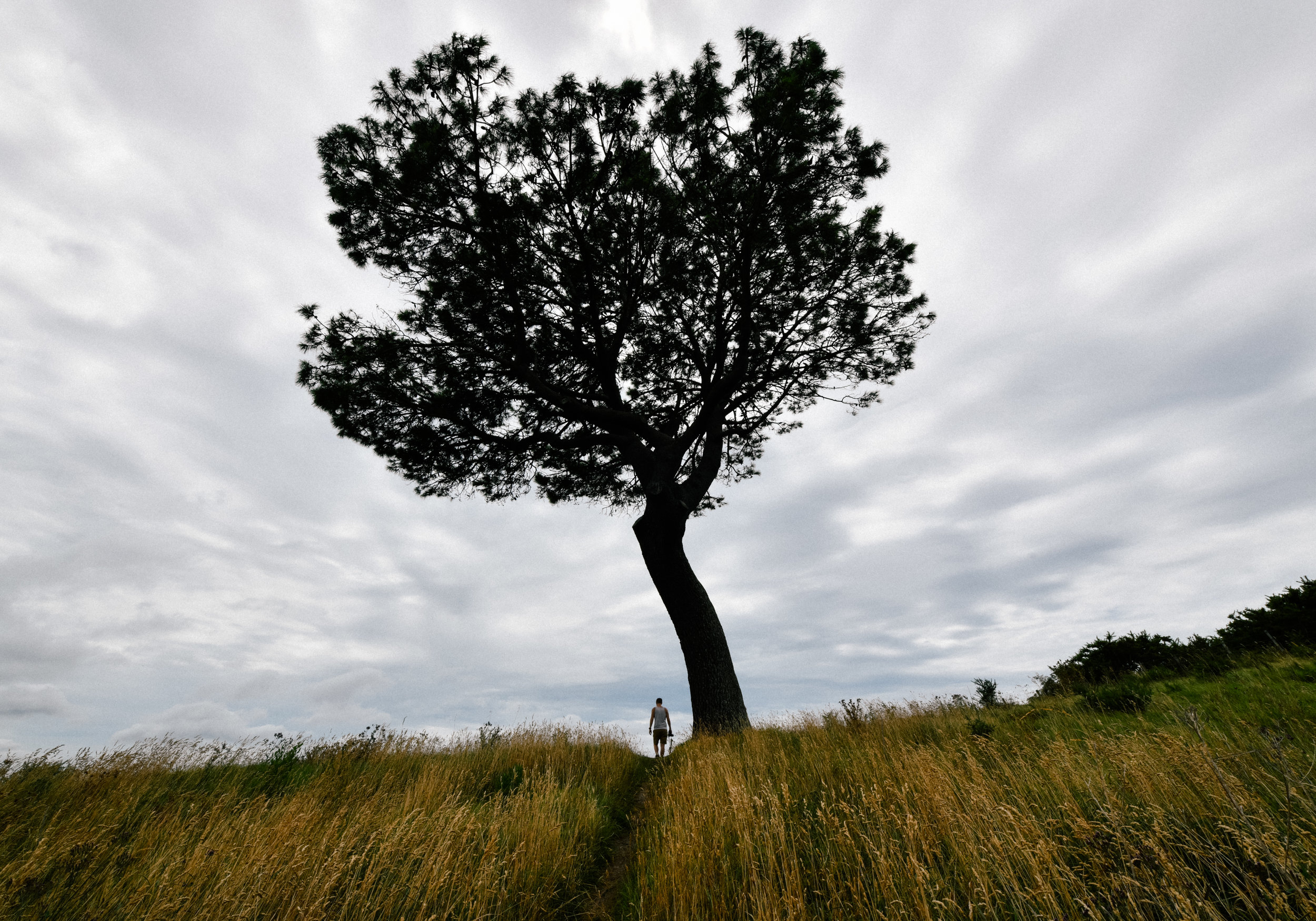 Great tree in Coromandel