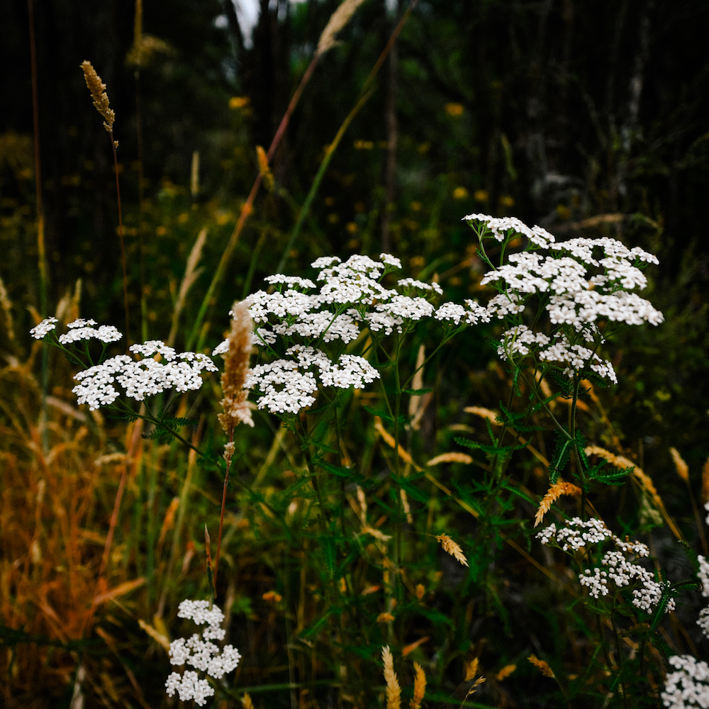 queen anne's lace in Tongariro
