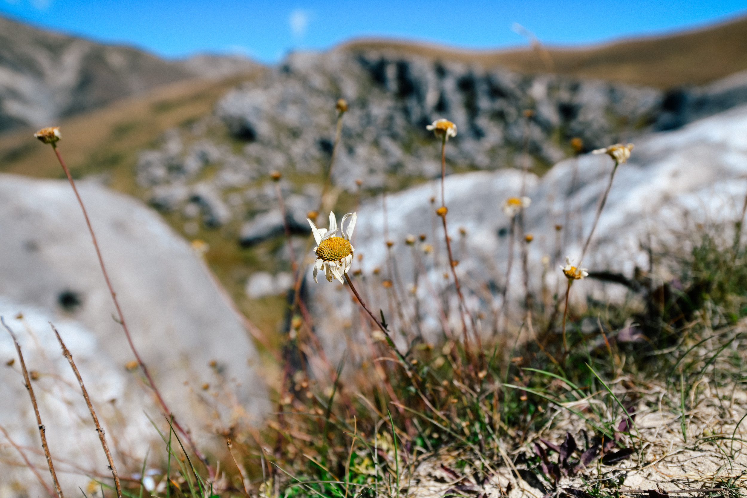 A daisy in castle hill