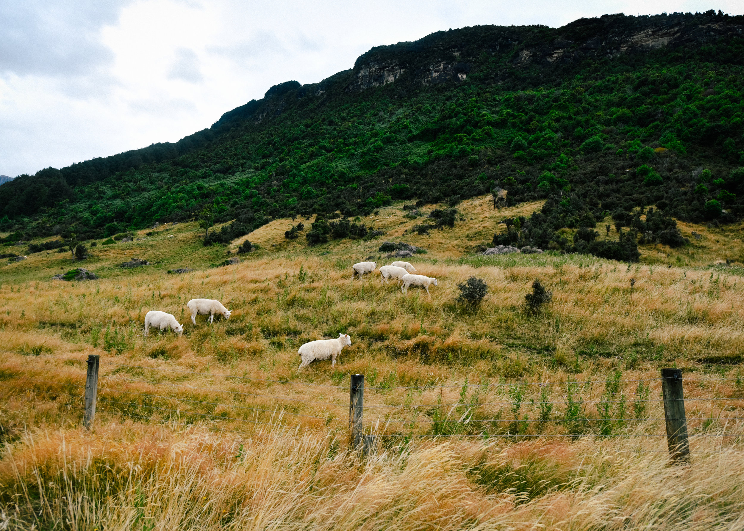 Sheeps on a hill