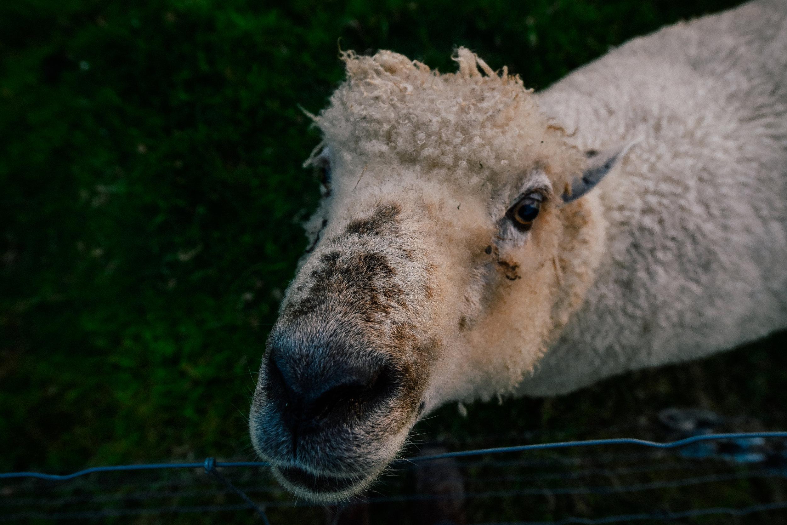 sheepy boy