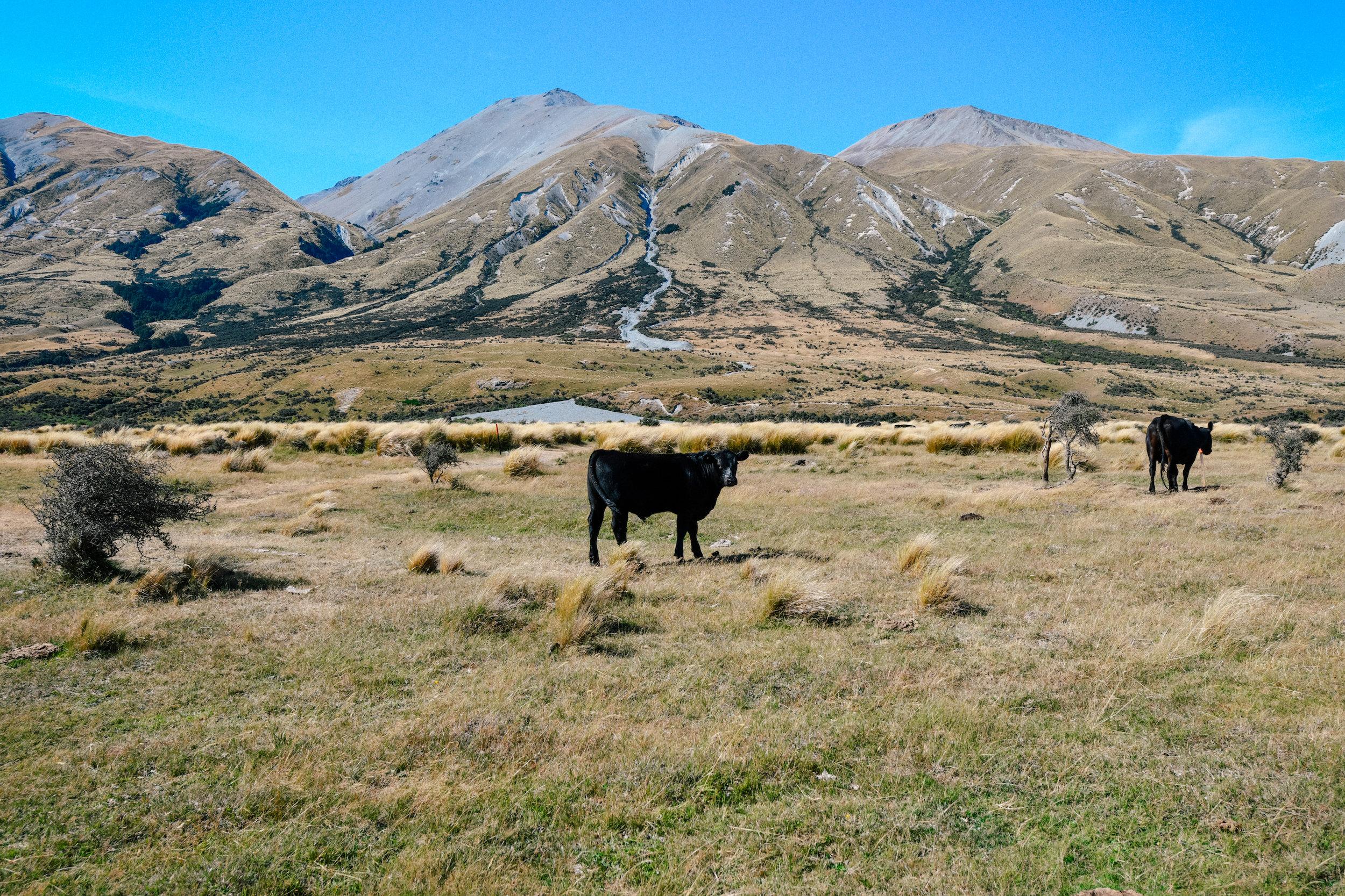 cows near mt sunday