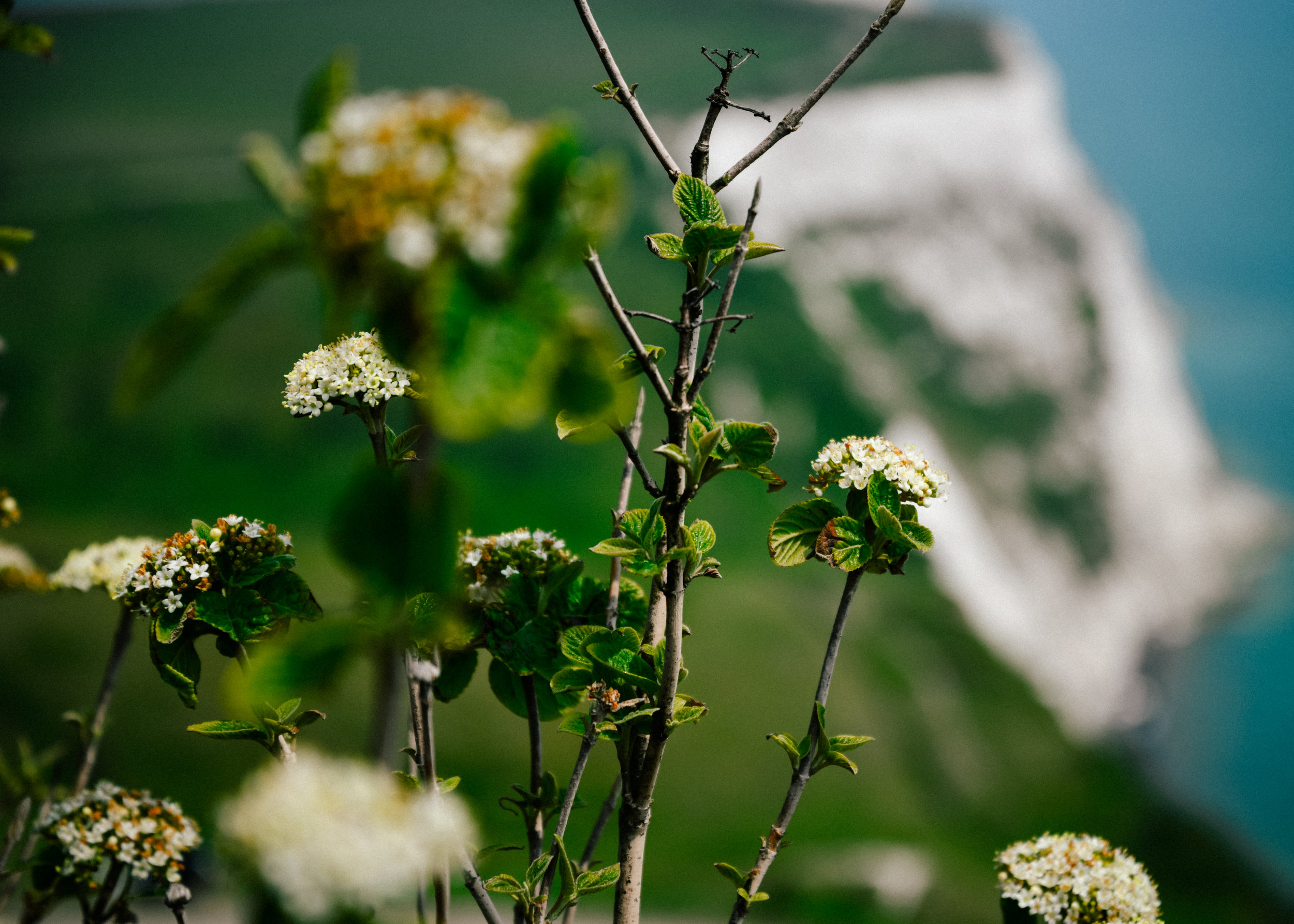 Flowers and the white cliffs of Dover